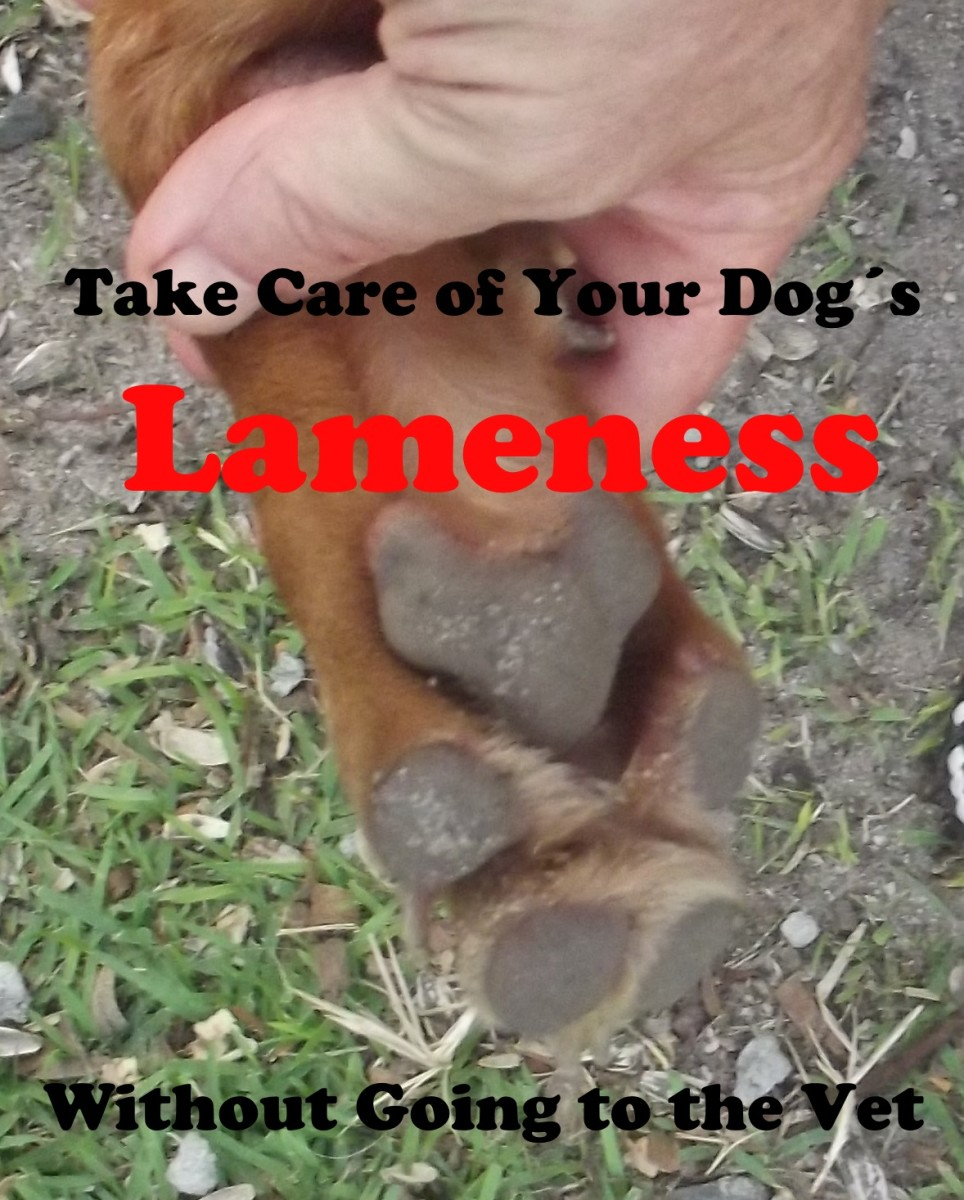 When no vet is available you can take care of your dogs lameness at home.