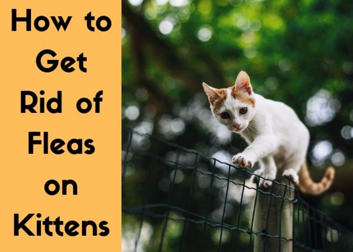 Kittens and fleas are not a fun combination, but there is something that you can do about it.