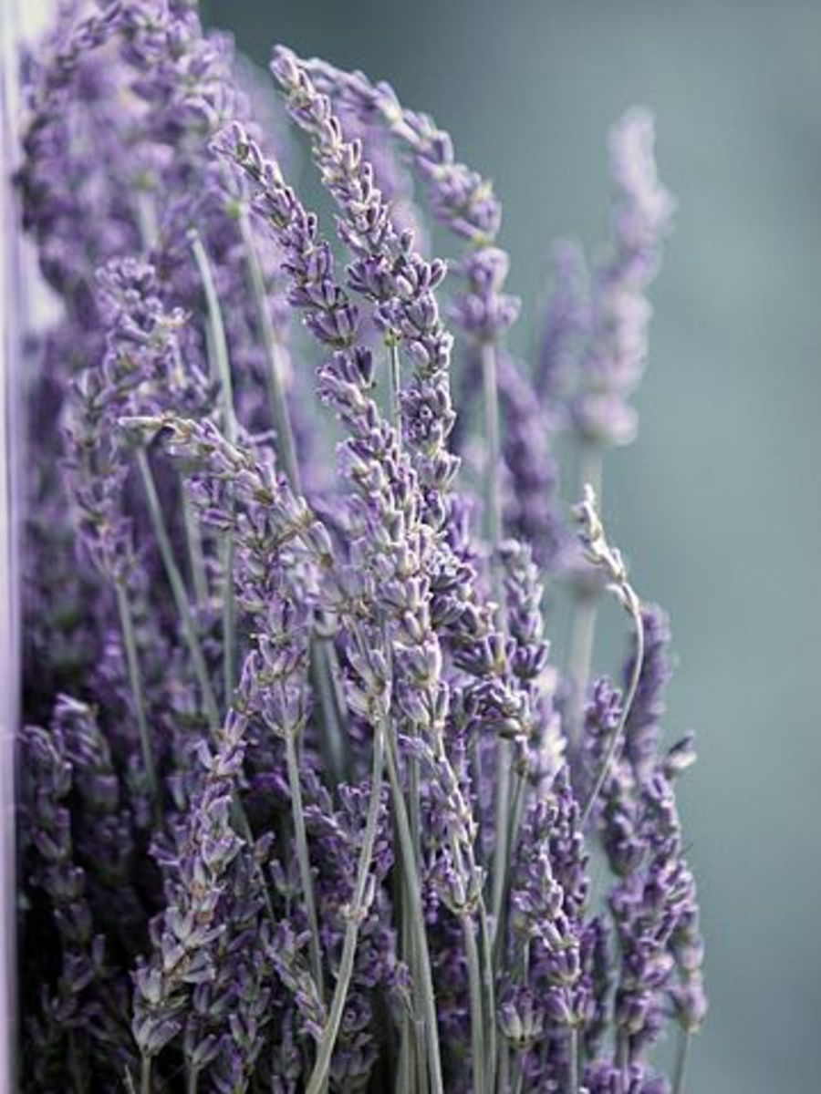 Lavender Essential Oil for Health, Beauty, and Spirit