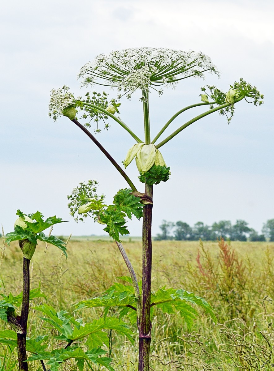 Giant Hogweed and Grapefruit: Effects of Furanocoumarins