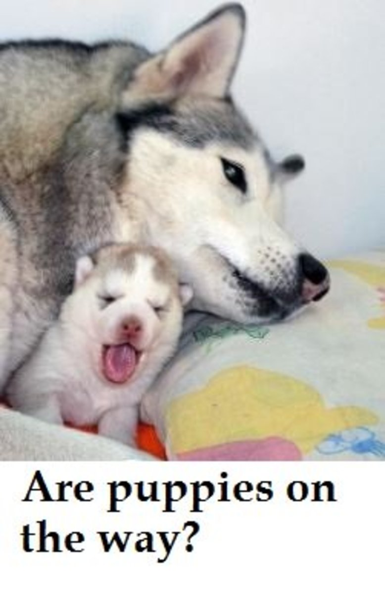 How Long After a Dog Loses Her Mucus Plug Does Labor Start?