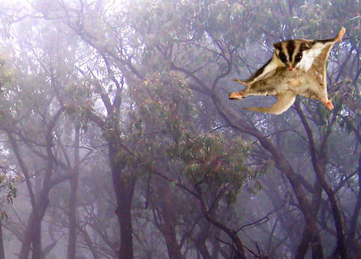 Daredevil flying possum.