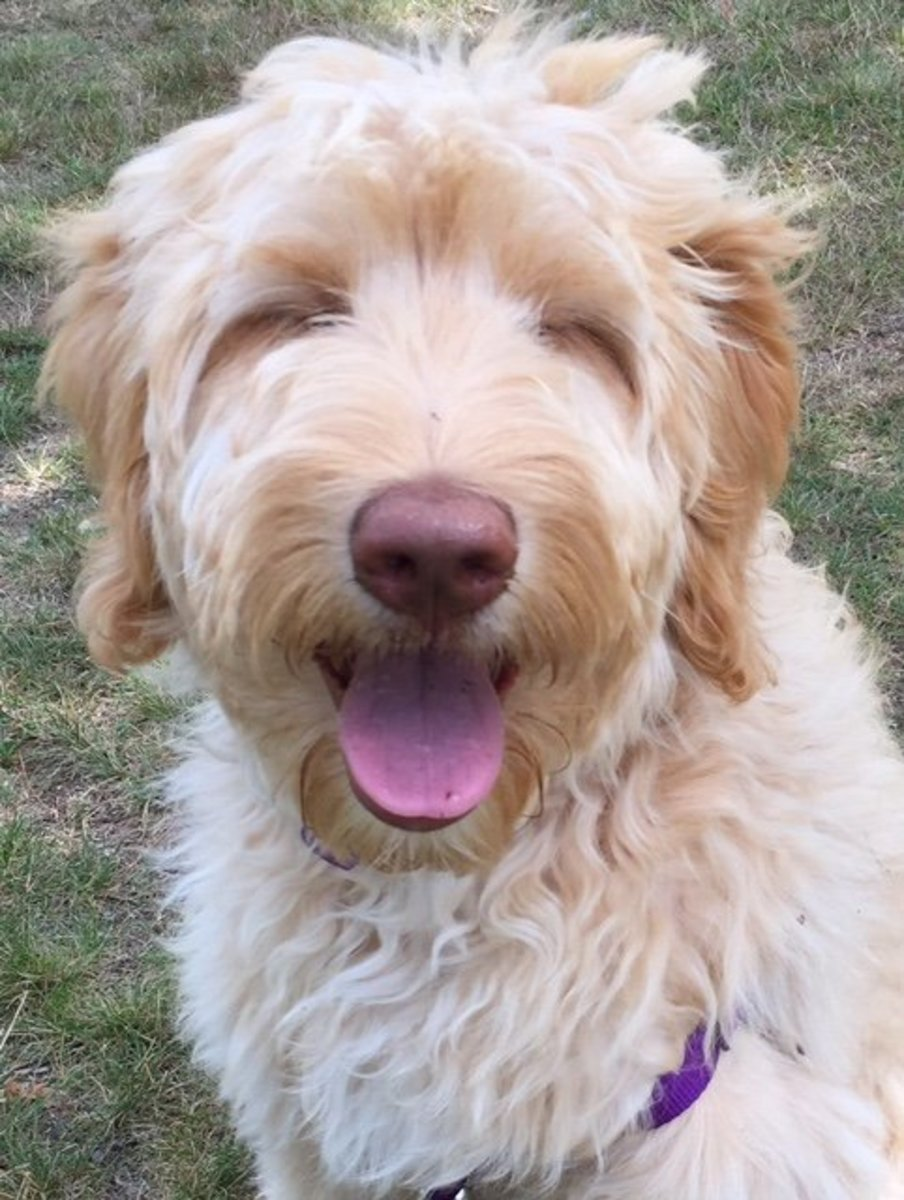 Our silly and sweet Double Doodle, Belle!