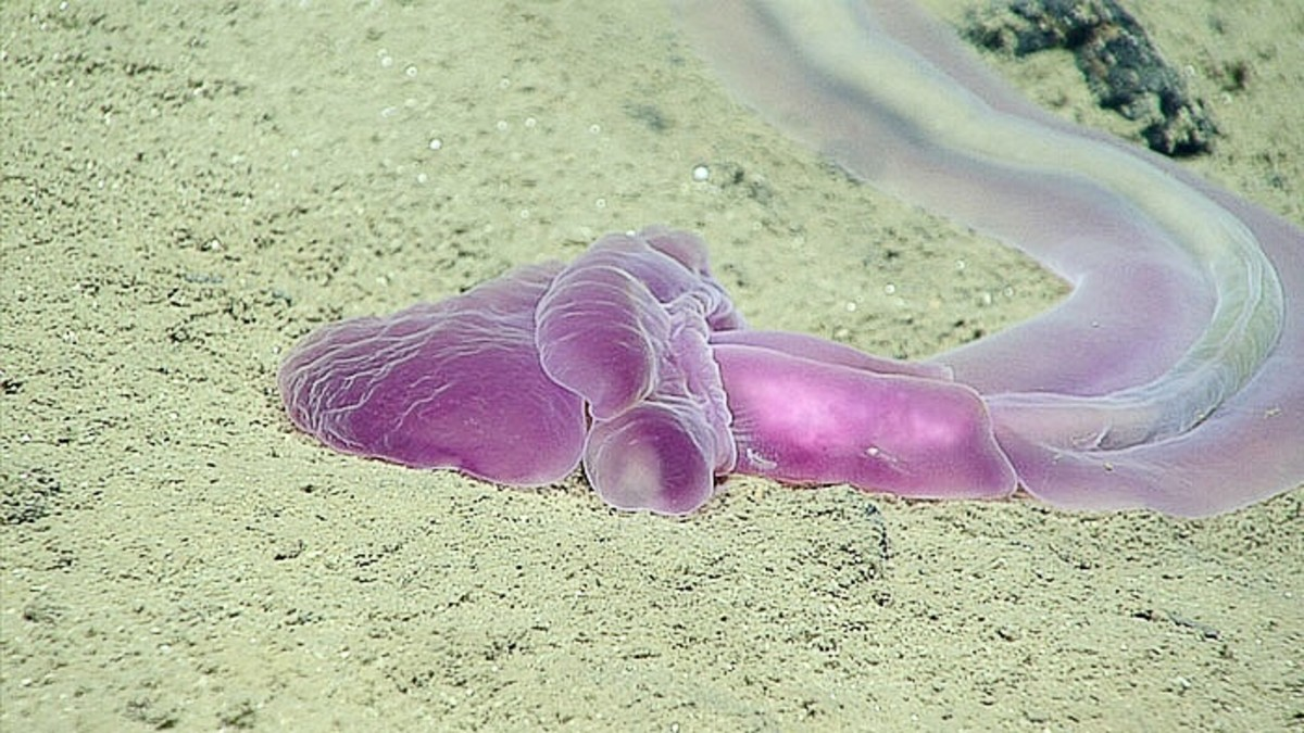 An acorn worm in the Mariana Trench