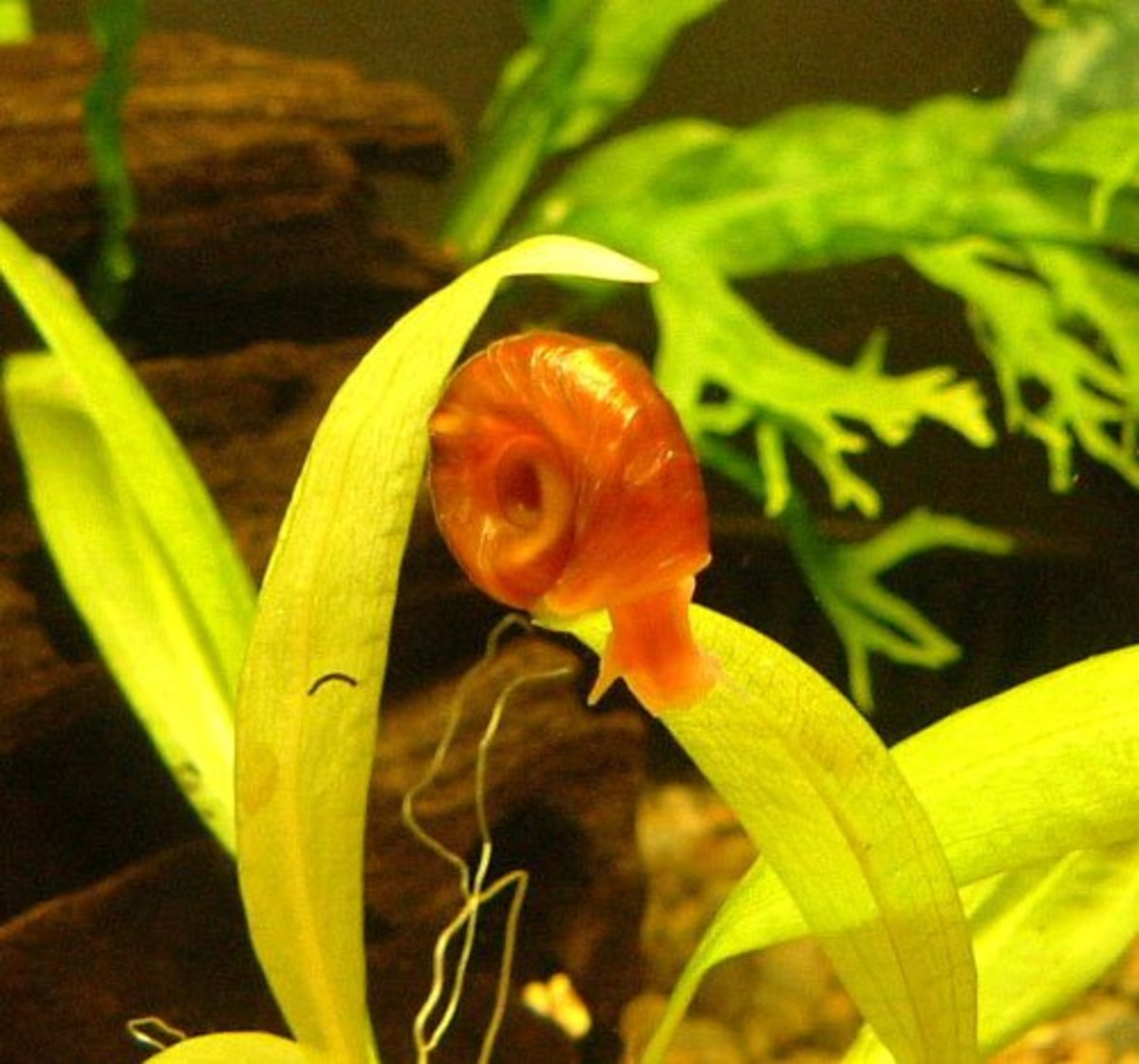 Some snails are nice to have in your fish tank, but when their population explodes it is bad news.