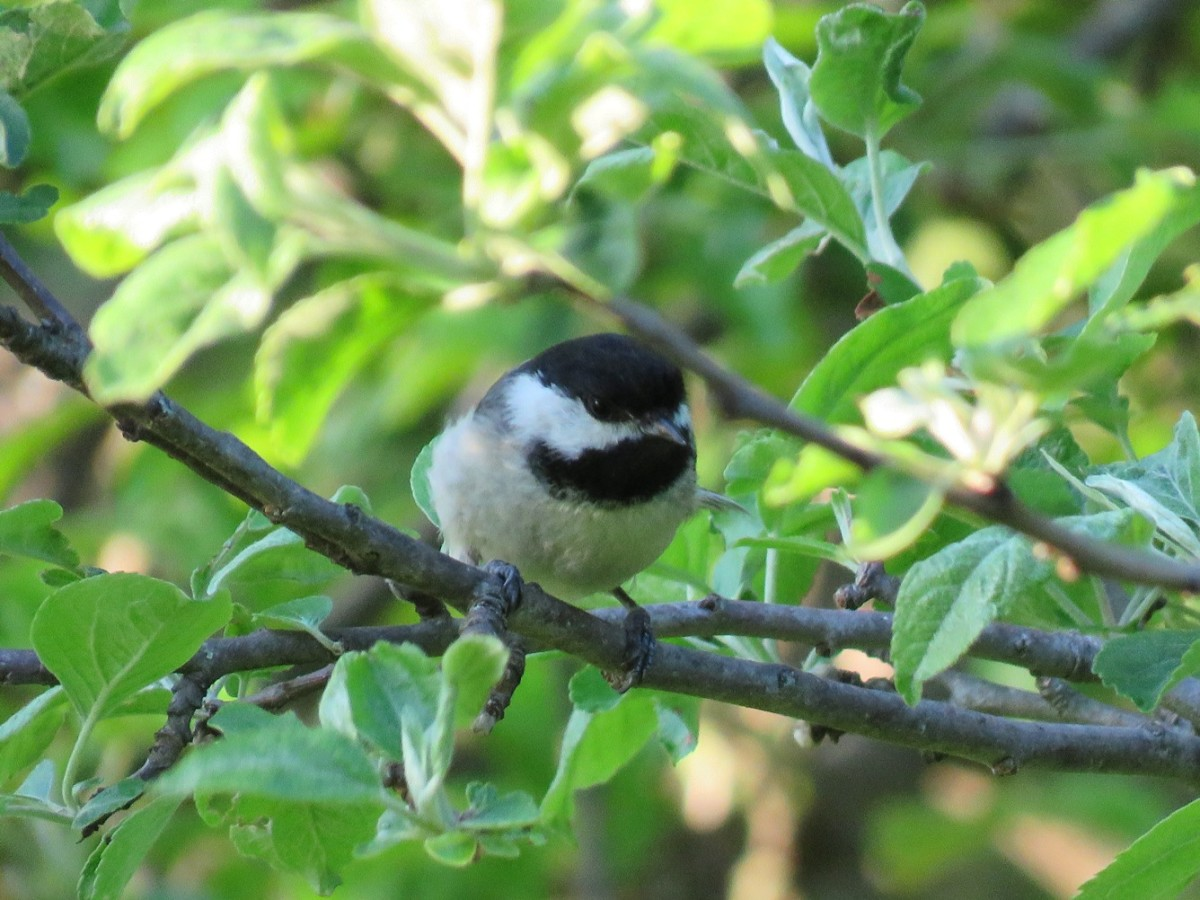 Black-capped Chickadee Facts, Pictures, and Song