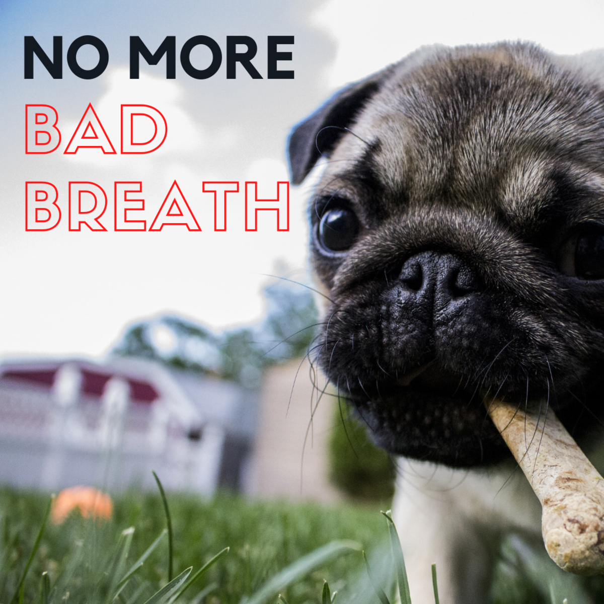 Bad breath is a common problem in dogs.  There are ways to help even without brushing.