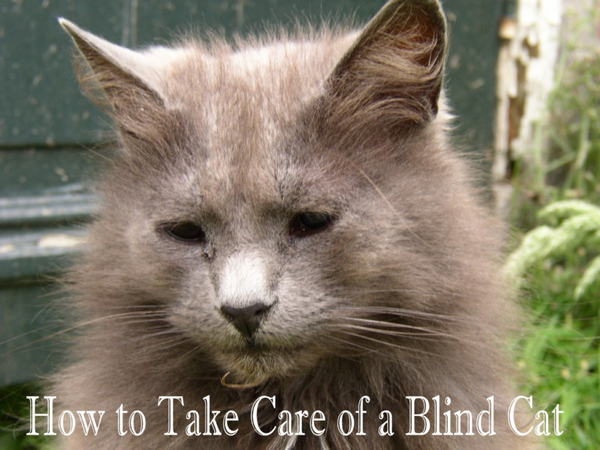 How to take care of a blind cat