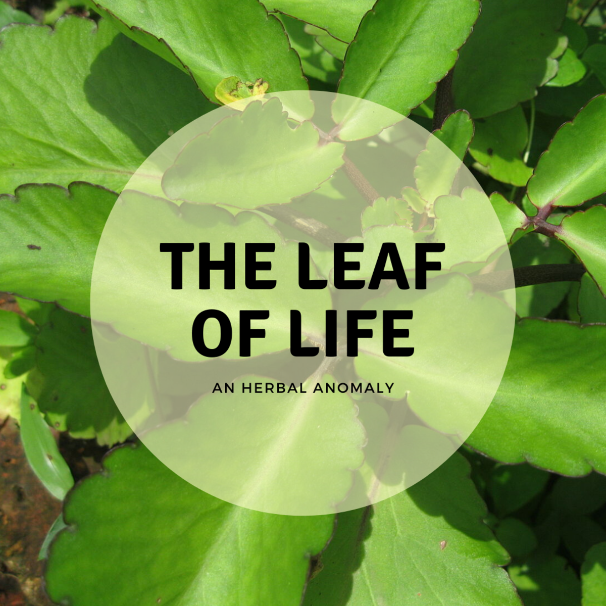Leaf of Life: Where It Grows and How to Use It