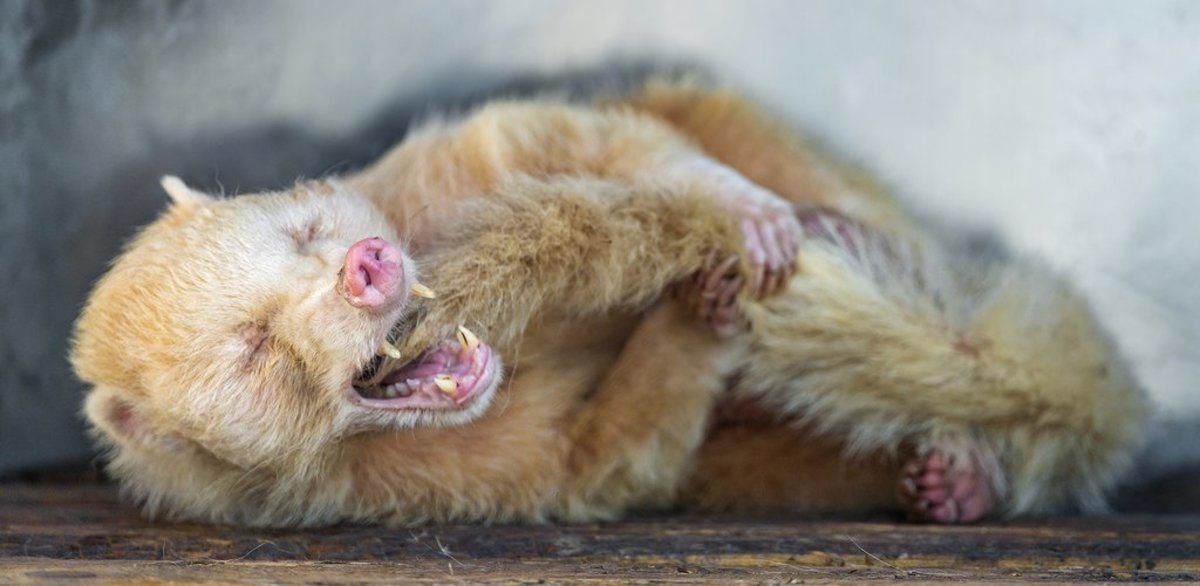 The pictured coati is albino