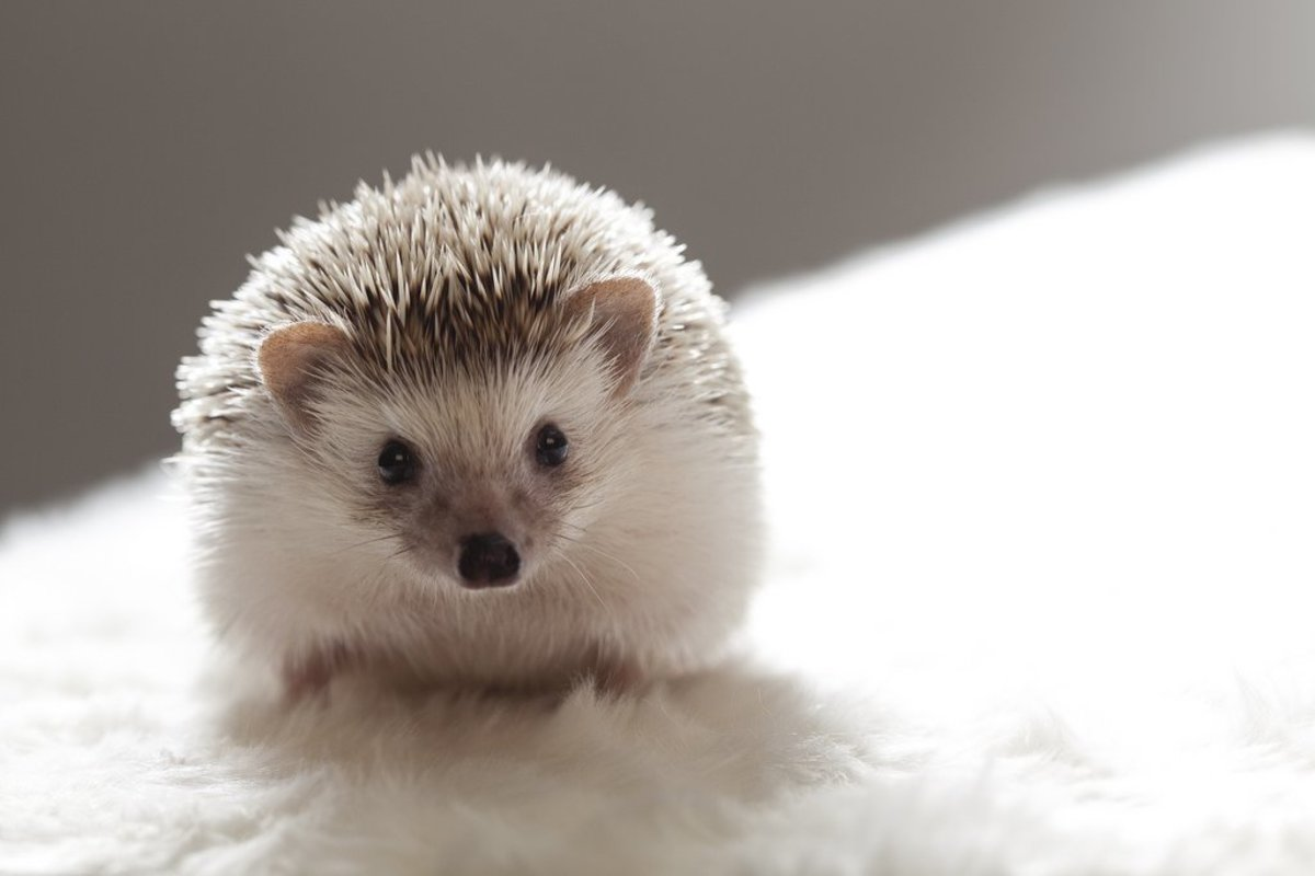 Names for Pet Hedgehogs, Porcupines, and Tenrecs