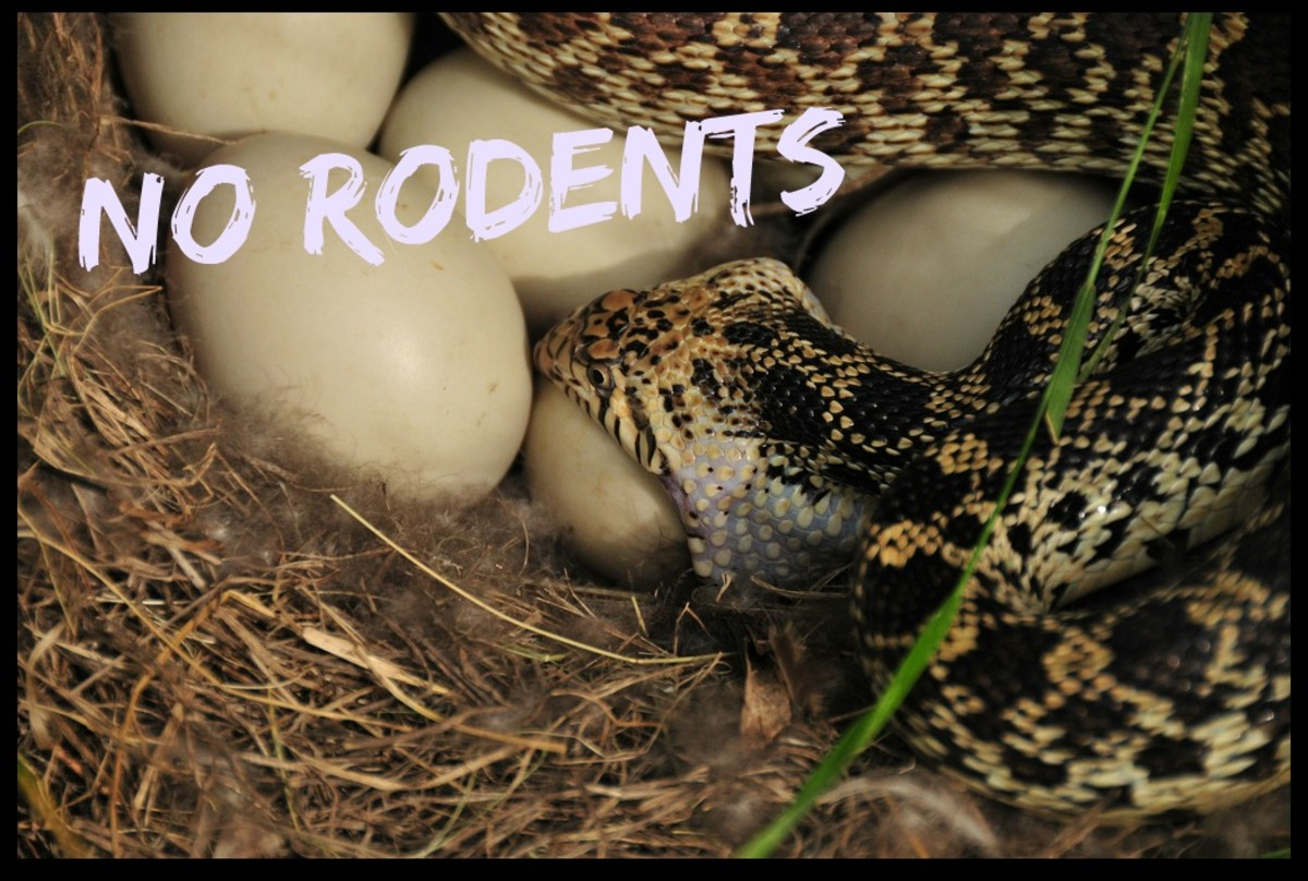Bull snake eating eggs in the wild
