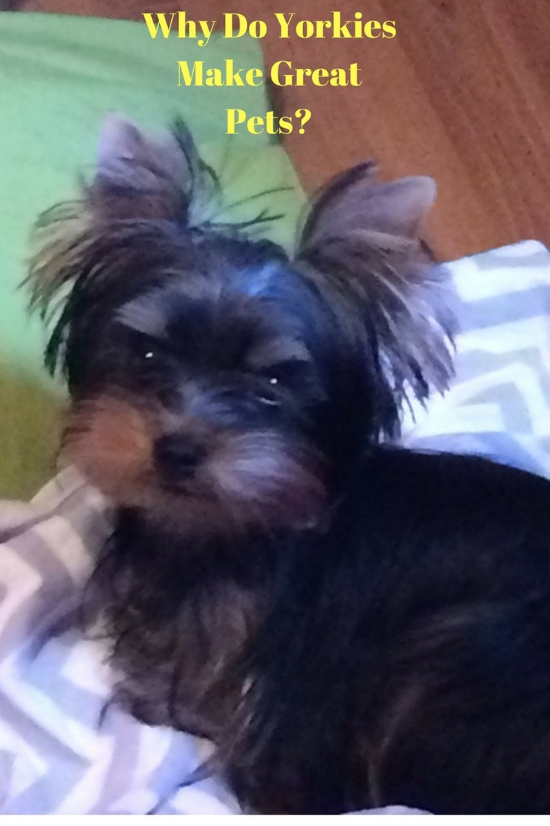 Yorkshire Terriers make great family pets.