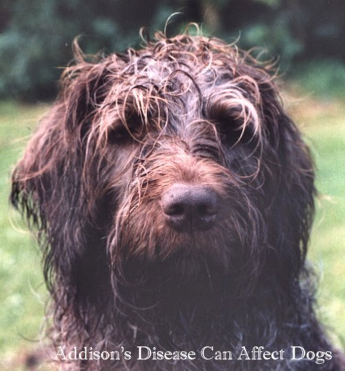 Addison's disease in Wirehaired Pointing Griffon