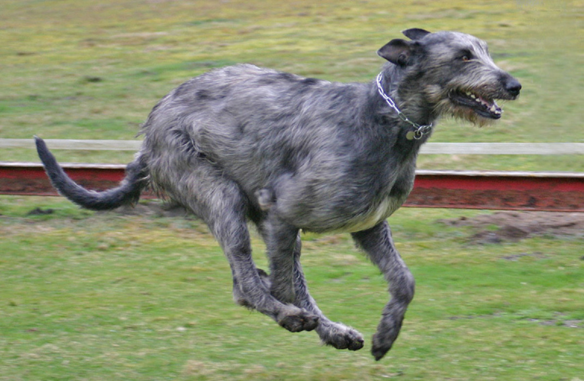 The Noble Irish Wolfhound Is An Ancient Breed Brought To Ireland Around 7000 BC