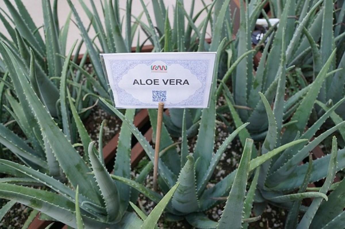 aloe-vera-gel-and-health-benefits