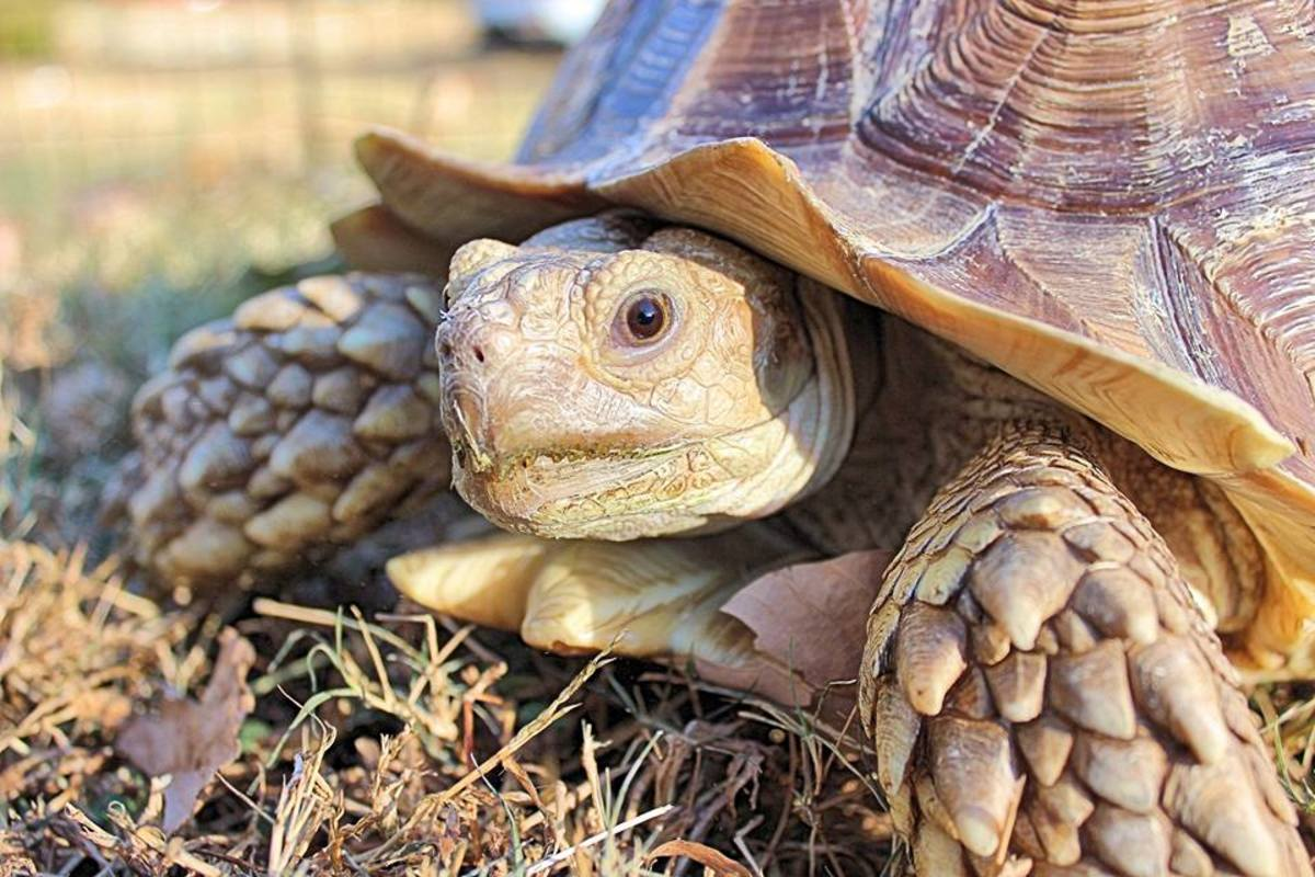 My own sulcata, Bobble!