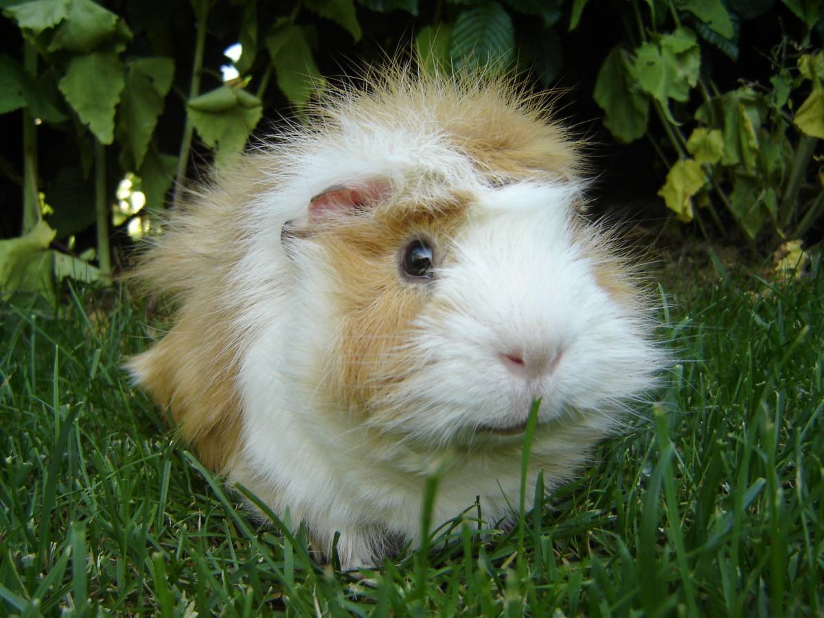 Guinea pigs are not pigs nor are they from Guinea.