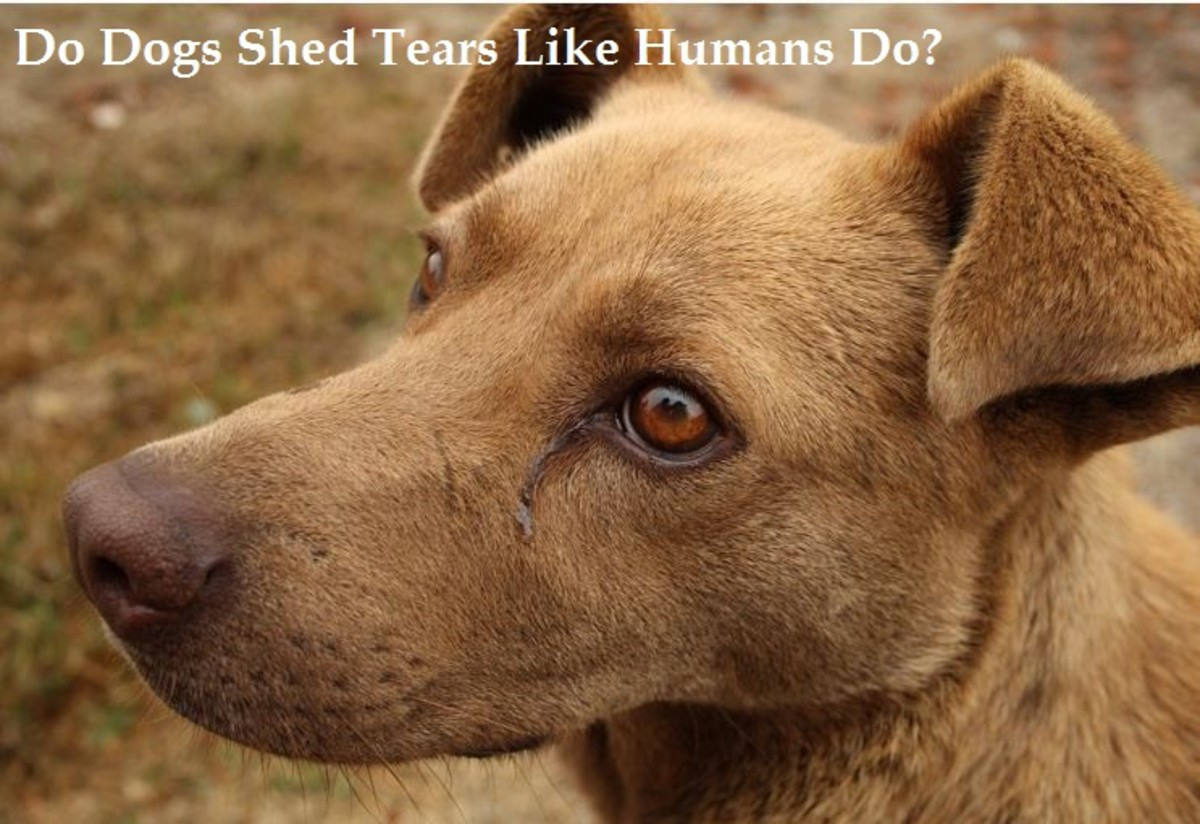 Can Dogs Cry Like Humans Do?