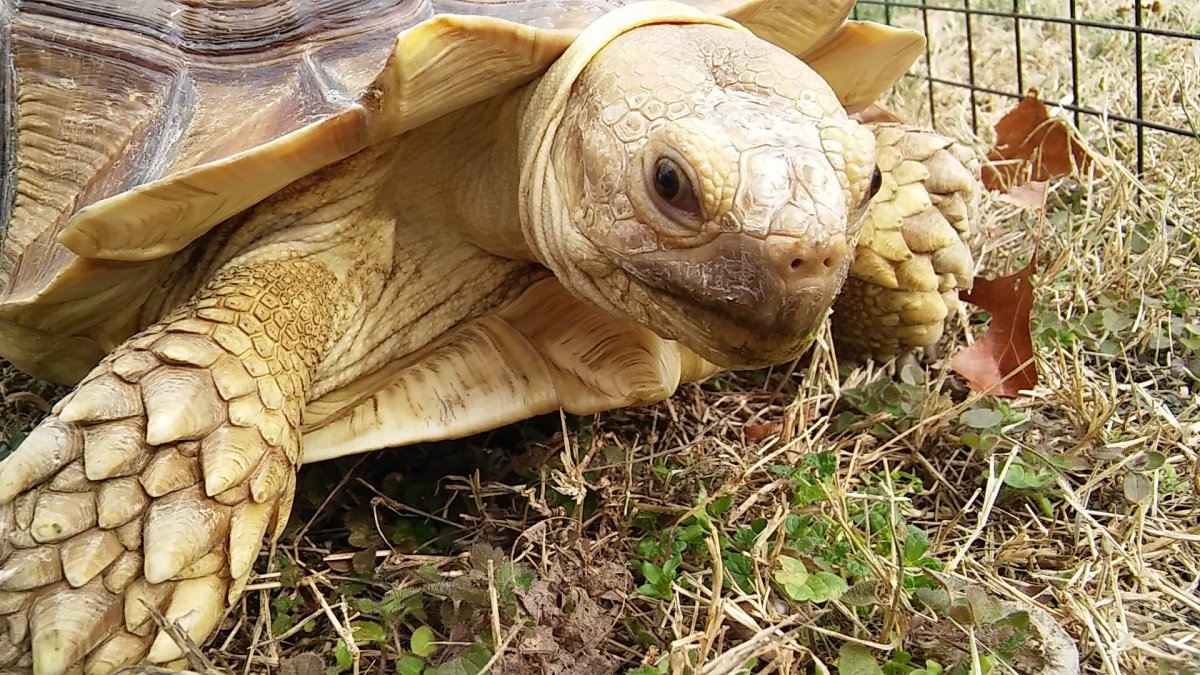This is my sulcata, Bobble