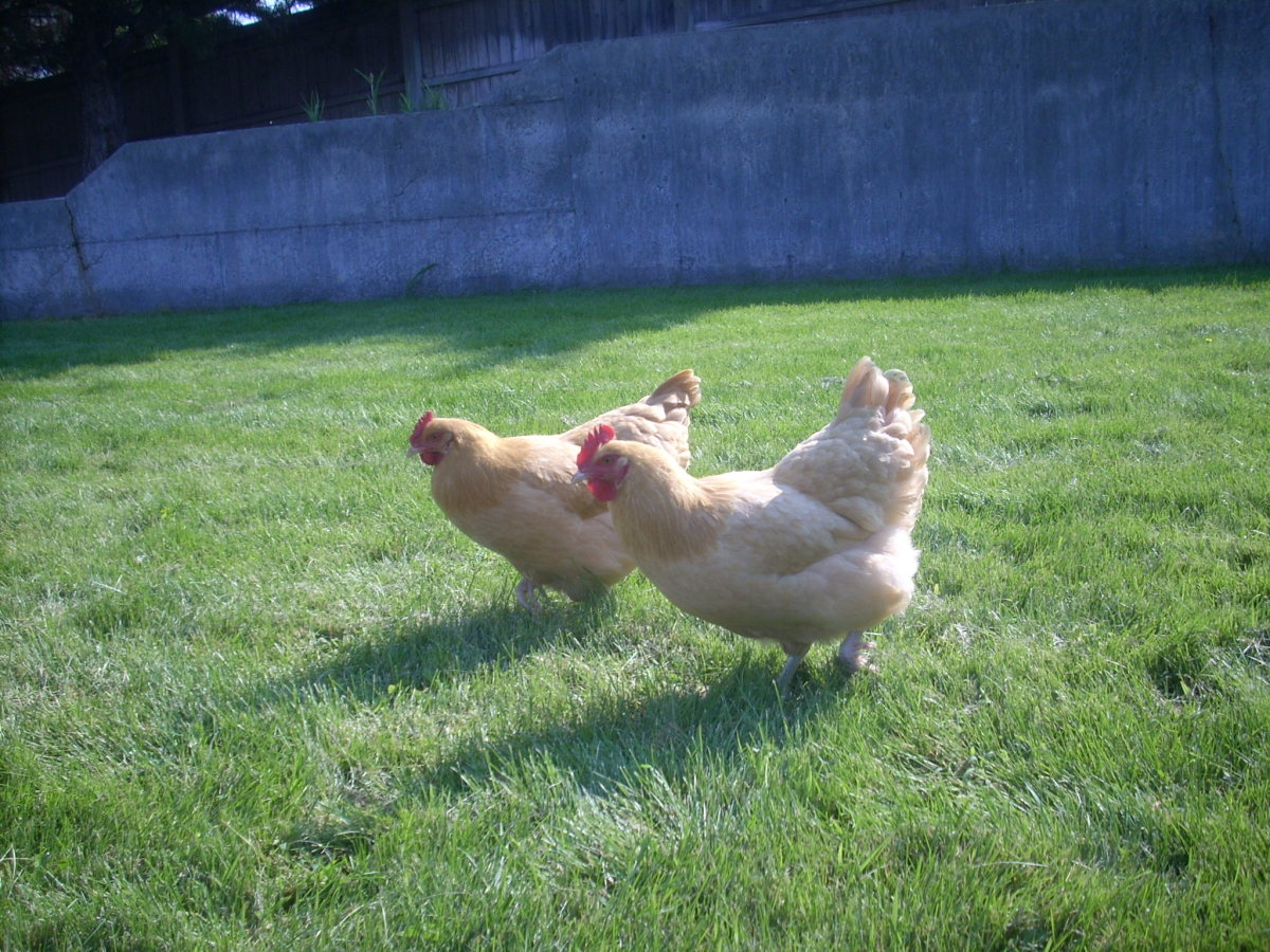 Growing Your Own Chicken Feed