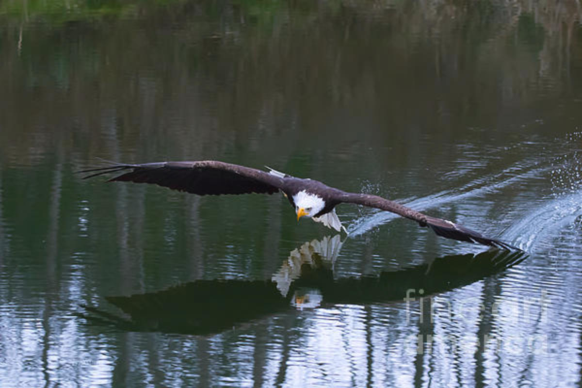 A Bald Eagle flying over the water close enough that its tail and wing are touching the water