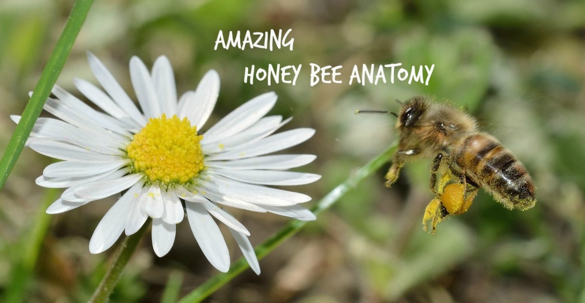 Honey Bees Have Hairy Eyeballs and Other Amazing Facts about Honey Bee Anatomy