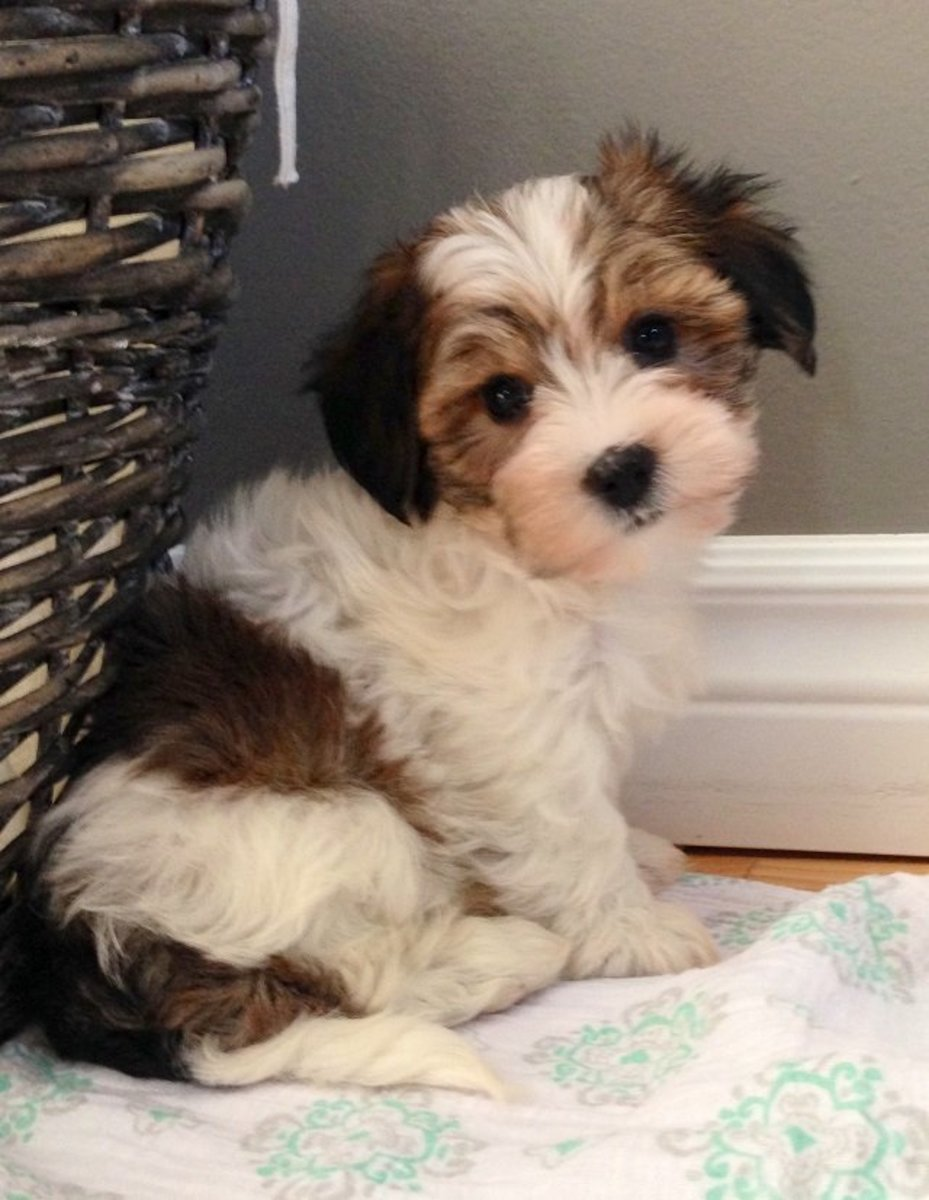 The Top 10 Cutest Mixed Dog Breeds
