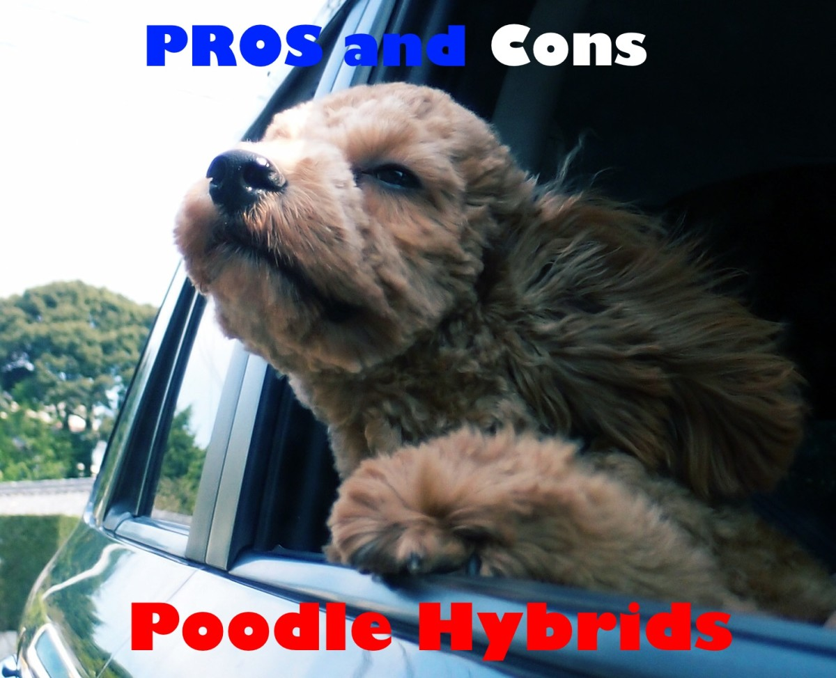 A List of the Pros and Cons of Cockapoos, Shepadoodles, Labradoodles, and Other Poodle Hybrids