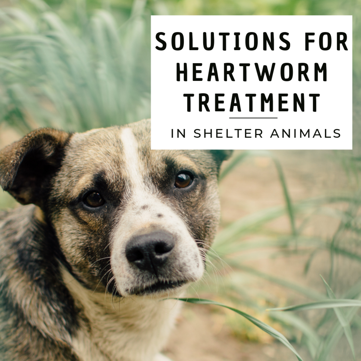 Heartworm Treatment in Shelter Animals
