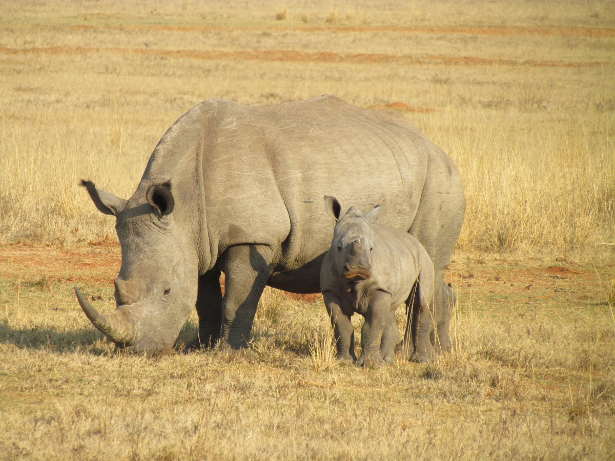 The Endangered Rhino:  Threats and Conservation