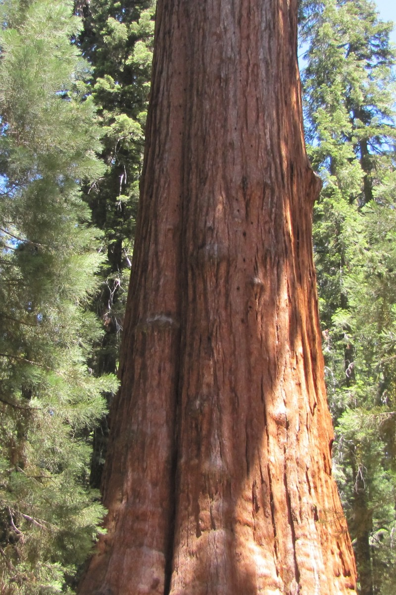 Giant Redwood of Northern California