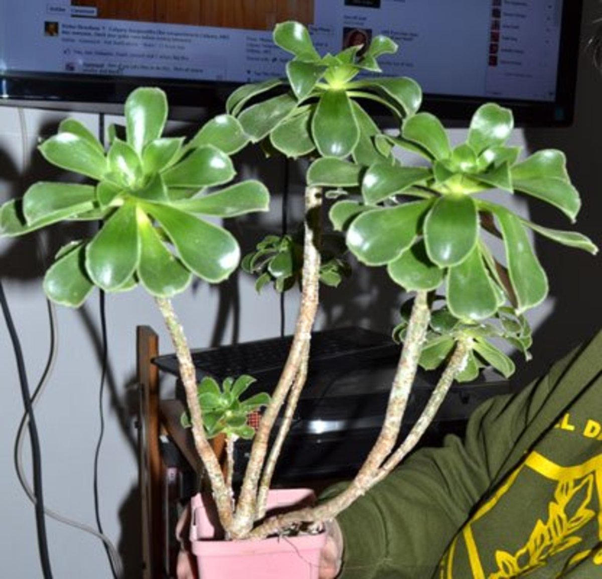 Aeonium balsamiferum like most members of the Crassulaceae family is easy to grow from cuttings.