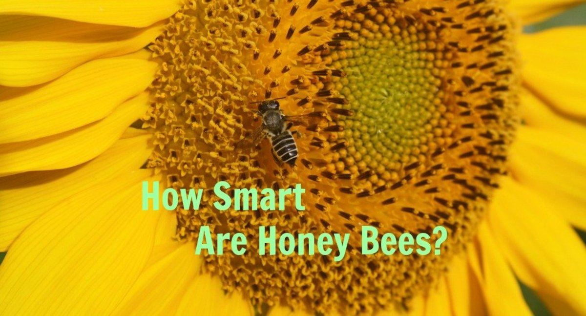 How smart are honey bees? Very, Very Smart!