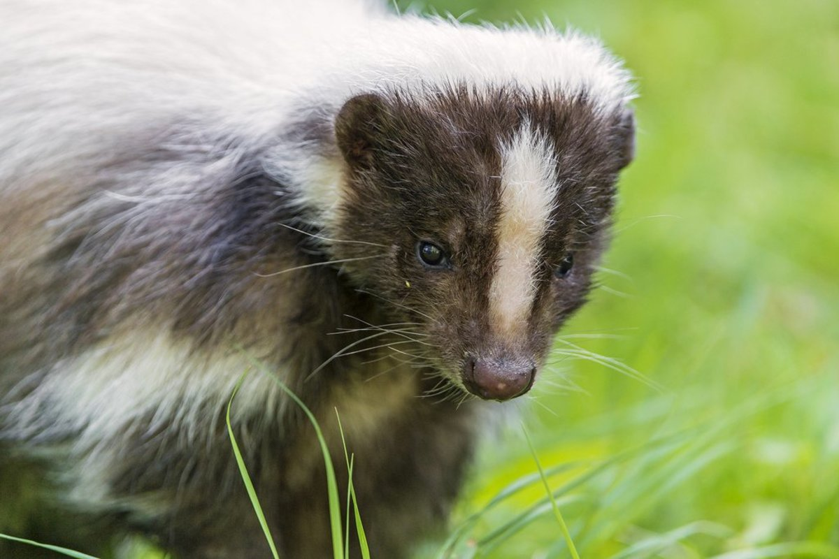 Skunks are legal pets in New Jersey.