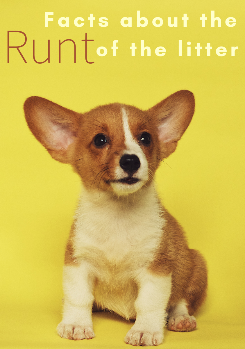 What makes a runt a runt? Can they survive and thrive as well as other puppies? Read on to learn the answers to these questions and more.