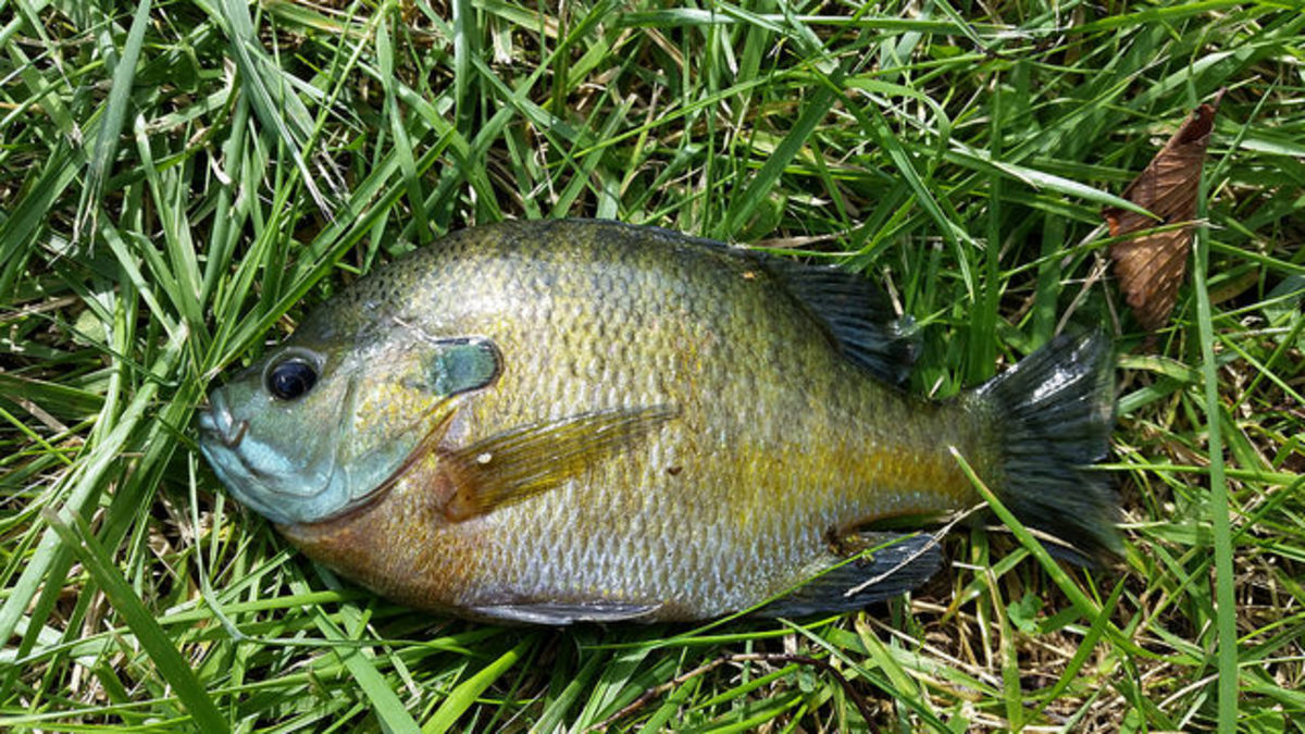 Bluegill caught in Hamilton, IL at Chaney Creek, which runs into the Mississippi River system