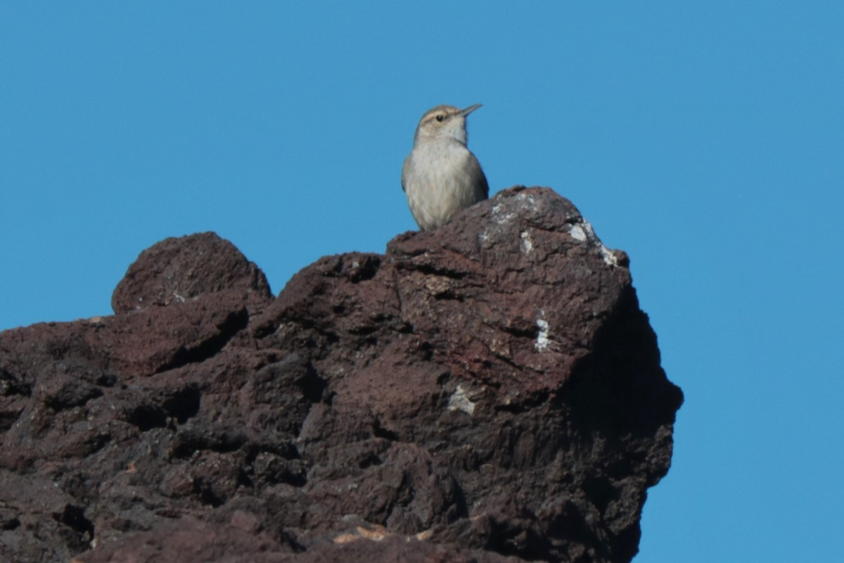 A Rock Wren suveying the landscape from Volcanic Rocks.