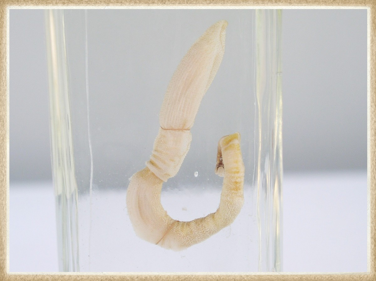 A preserved acorn worm