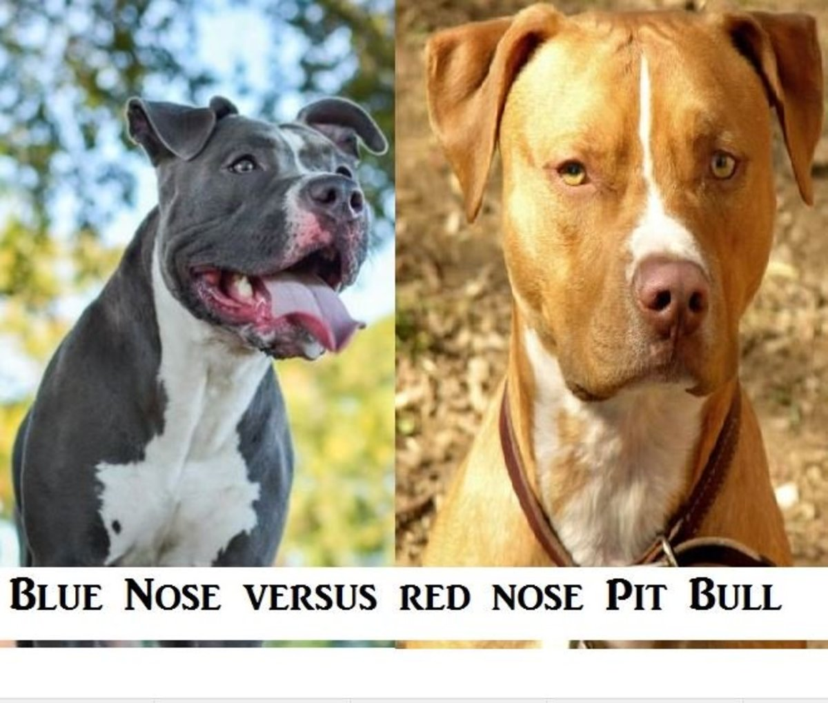 Difference between blue nose pit bull and red nose pit bull.