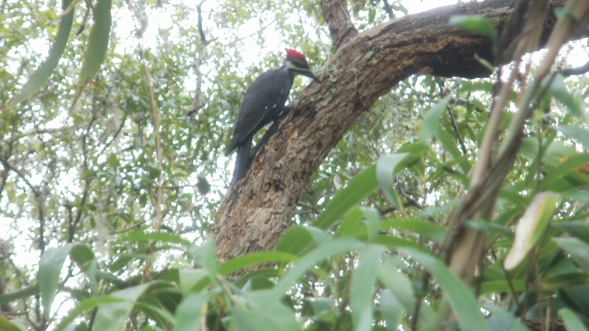 Female Pileated Woodpecker in Live Oak