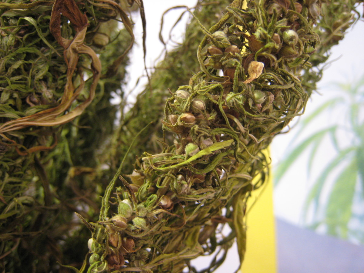 A close up of hemp seeds sitting in the hemp plant.