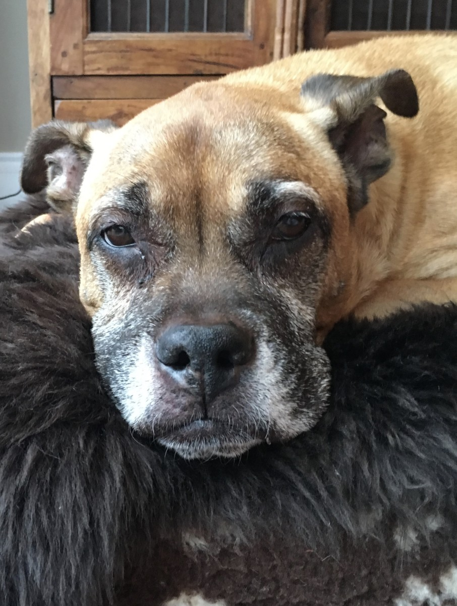 Tips on Caring for an Older Dog