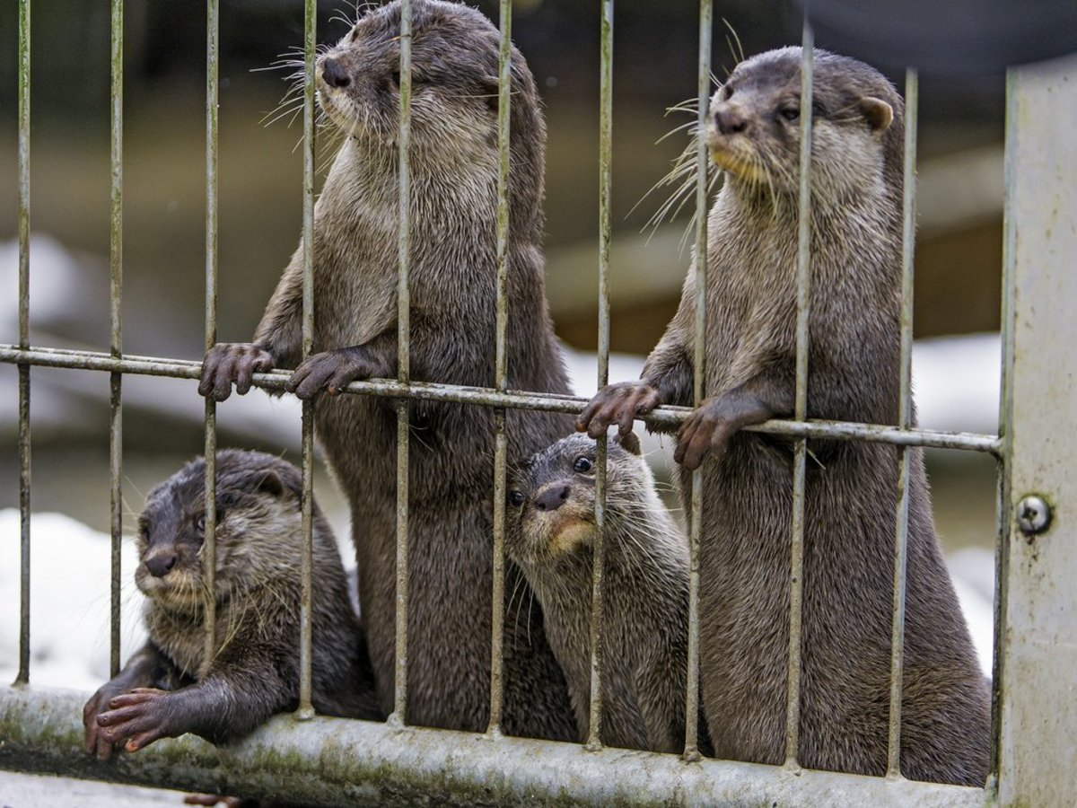 Can You Own a Pet Otter?