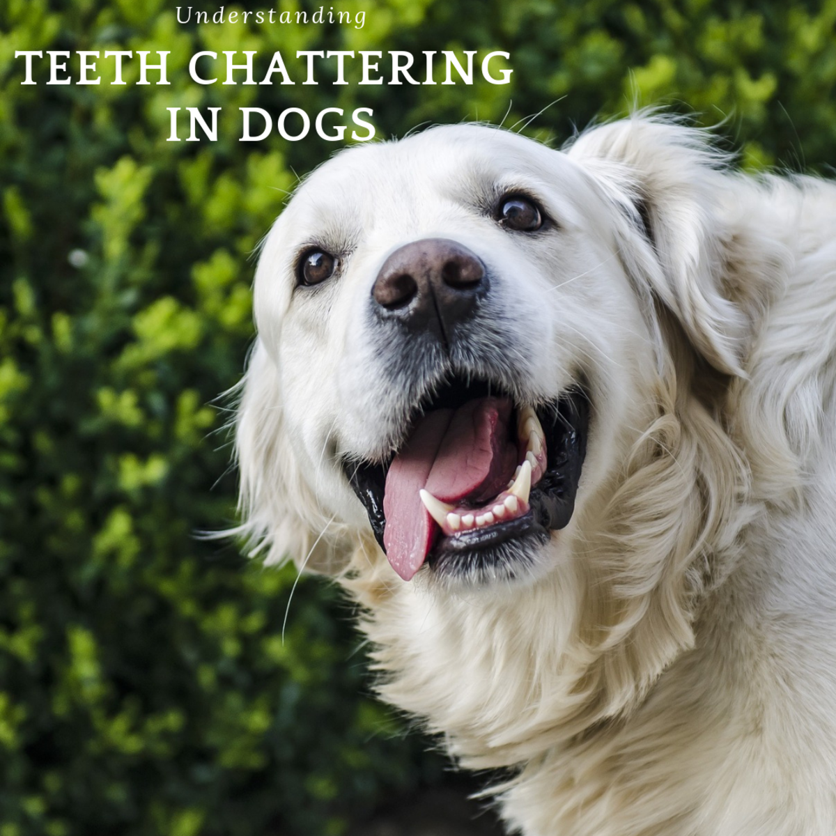 Understanding Your Dog's Teeth Chattering
