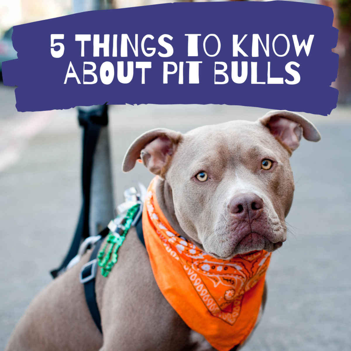 Reason Why You Should Never Own a Pit Bull