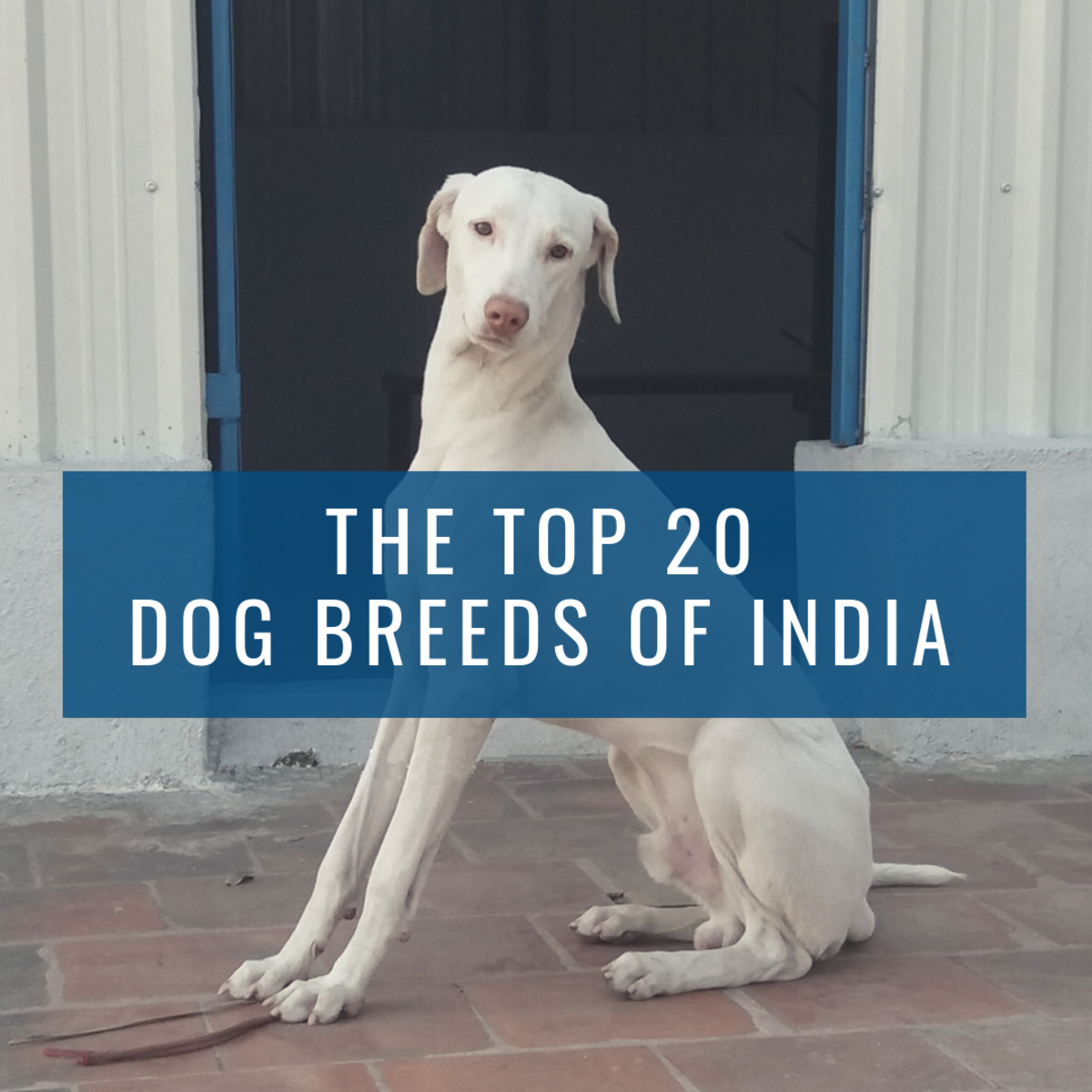 Top 20 Indian Dog Breeds: Purchasing Price and Care