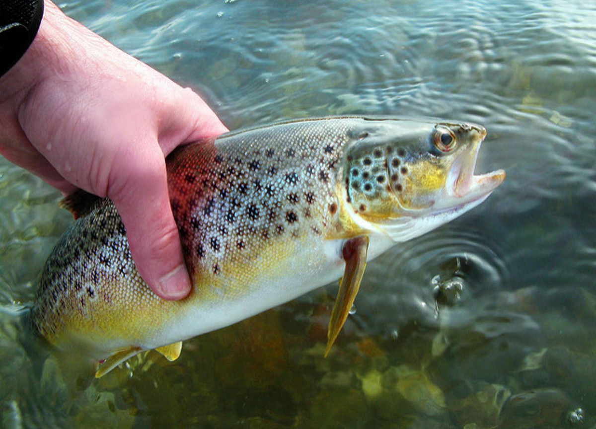 A gorgeous brown trout. Fishing ultralight gear, including unweighted lures and lighter fishing line, can help your presentation look much more realistic and lifelike as it moves through the water.