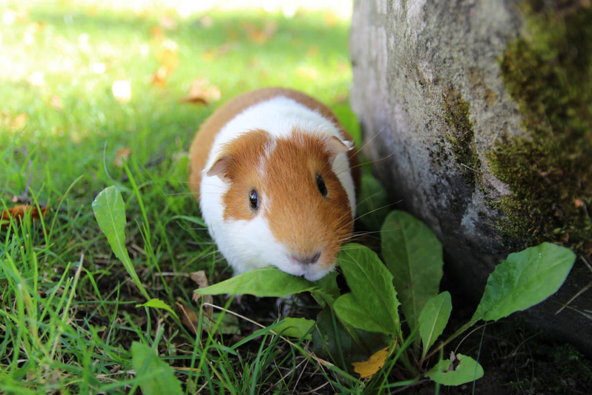 Weight loss in guinea pigs can be serious. See a vet and make dietary changes to helo your cavy regain lost weight gradually.