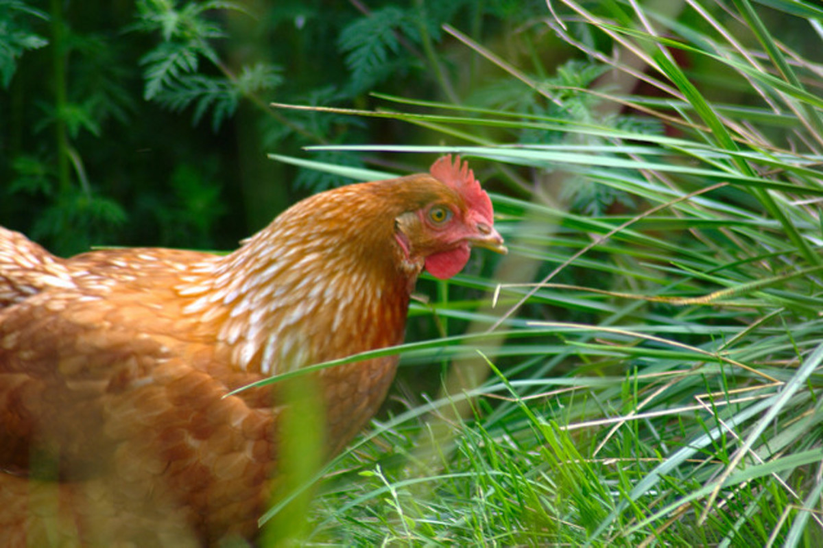 The $154 Egg:  Mistakes to Avoid When Raising Chickens